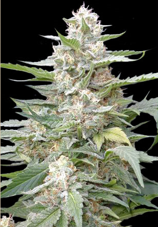 Lemon Amber Kush Feminised Cannabis Seeds By G13 Labs Review
