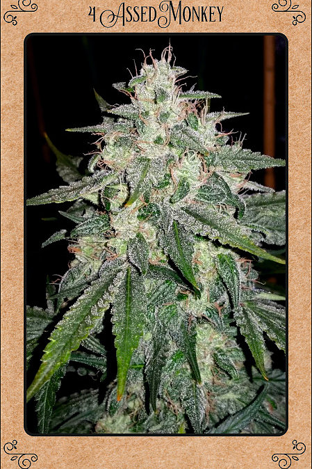 4 Assed Monkey - Discount Cannabis Seeds