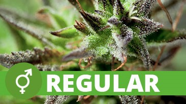 What are Regular Cannabis Seeds - Discount Cannabis Seeds