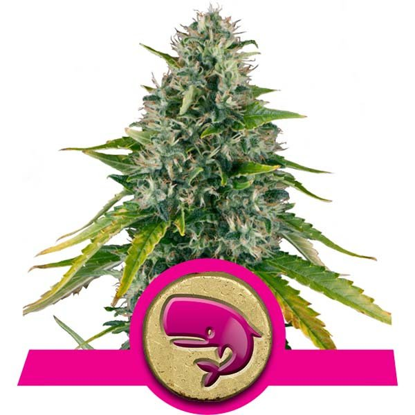 Royal Moby - Discount Cannabis Seeds