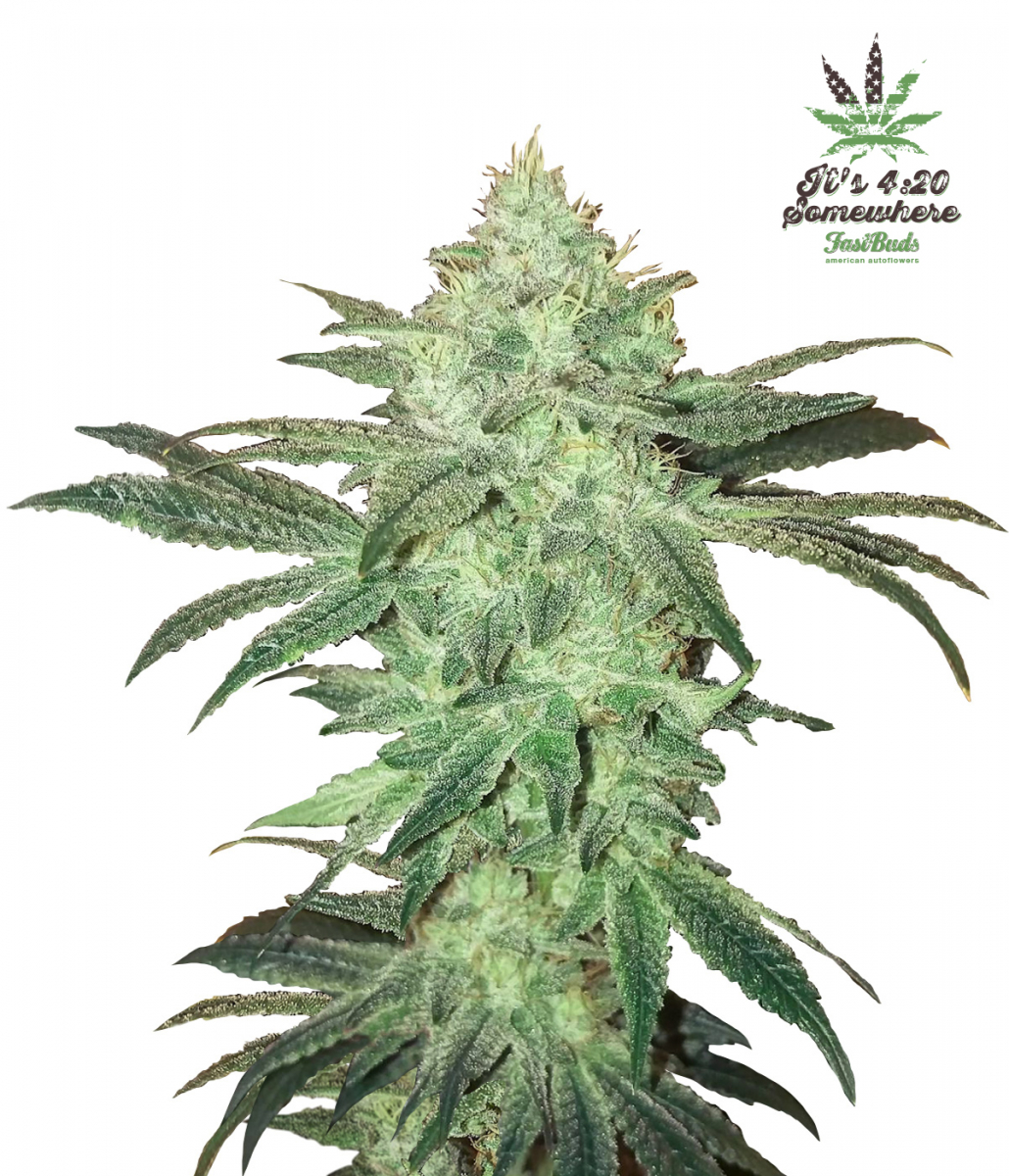 Fast Buds Stardawg - Discount Cannabis Seeds