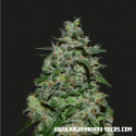 AK Kush Express Feminised Cannabis Seeds | Kalashnikov Seeds