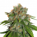Amnesia Auto Feminised Cannabis Seeds | Seed Stockers