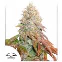 Auto Banana Blaze Feminised Cannabis Seeds   Dutch Passion