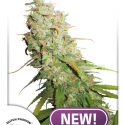 Auto Desfran Feminised Cannabis Seeds | Dutch Passion