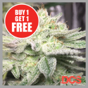 Auto Gorilla Glue Cannabis Seeds | Discount Cannabis Seeds