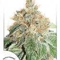 Auto Daiquiri Lime Feminised Cannabis Seeds | Dutch Passion
