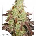 Auto Night Queen Autoflowering Feminised Cannabis Seeds | Dutch Passion