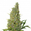 BCN Power Plant Feminised Cannabis Seeds | Seed Stockers