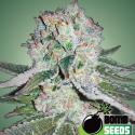 Banana Bomb Feminised Cannabis Seeds | Bomb Seeds
