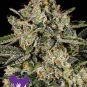 Banana MAC Feminised Cannabis Seeds - Anesia Seeds