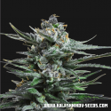 Boy Scout Cookies Feminised Cannabis Seeds | Kalashnikov Seeds
