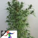 CBD Harlequin Feminsed Cannabis Seeds | Kera Seeds