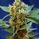 Cream Mandarine XL Auto Feminised Cannabis Seeds | Sweet Seeds