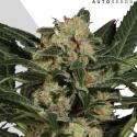 Candy Kush Autoflowering Feminised Cannabis Seeds | Auto Seeds