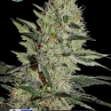 Crazy Mouse Auto (Amsterdam Cheese Auto) Feminised Cannabis Seeds |  Kera Seeds