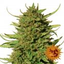 Critical Kush Feminised Cannabis Seeds | Barney's Farm