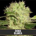 Dama Blanca Feminised Cannabis Seeds | Blim Burn Seeds