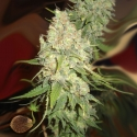 Blackberry OG Regular Cannabis Seeds | Emerald Triangle Seeds