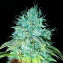 Sour Puss Feminised Cannabis Seeds   Emerald Triangle Seeds
