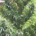 Easy Sativa Feminised Cannabis Seeds | Female Seeds