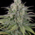 UK Cheese Auto Feminised Cannabis Seeds | Humboldt Seeds Organisation