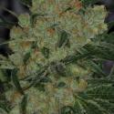 Jack Straw Regular Cannabis Seeds | TGA Seeds