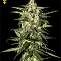 Jack Herer Automatic Feminised Cannabis Seeds | Green House Seeds