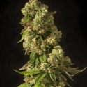John Doe Regular Cannabis Seeds | Devil's Harvest Seeds