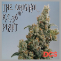 KC36 Regular Cannabis Seeds | KC Brains Seeds