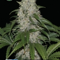 Keramatic Auto Feminised Cannabis Seeds | Kera Seeds