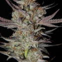 Marion Berry Kush Regular Cannabis Seeds | TGA Seeds