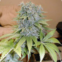 Medicine Man Regular Cannabis Seeds | Mr Nice Seed