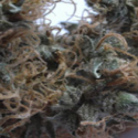 NHS (National Health Service) Mango Regular Cannabis Seeds | Mr Nice Seed