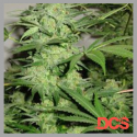 Northern Light Special Regular Cannabis Seeds | KC Brains Seeds