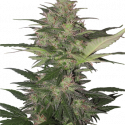 Red Dwarf Auto Regular Cannabis Seeds | Buddha Seeds