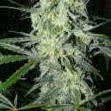 SexBud Feminised Cannabis Seeds | Female Seeds