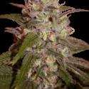 Orange Light Feminised Cannabis Seeds