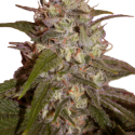 Orange Light Feminised Cannabis Seeds