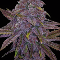 Sherbet Dab Feminised Cannabis Seeds | Big Head Seeds
