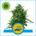 Solomatic CBD Auto Feminised Cannabis Seeds | Royal Queen Seeds