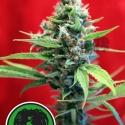 Señora Amparo Feminised Cannabis Seeds | Reggae Seeds