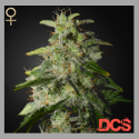 Money Maker Feminised Cannabis Seeds | Strain Hunters