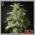Money Maker Feminised Cannabis Seeds | Strain Hunters