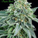 Strawberry Tree Feminised Cannabis Seeds - Anesia Seeds