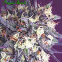 Super Glue Feminised Cannabis Seeds - Anesia Seeds