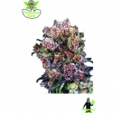 Trinity Kush Feminised Cannabis Seeds   Dispensario Seeds