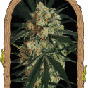 Triple A Auto Feminised Cannabis Seeds | Exotic Seeds