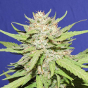 Wedding Cake Feminised Cannabis Seeds | Original Sensible Seeds