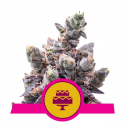 Wedding Gelato Feminised Cannabis Seeds | Royal Queen Seeds